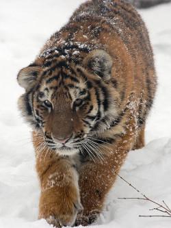 siberian tiger by flickkerphotos