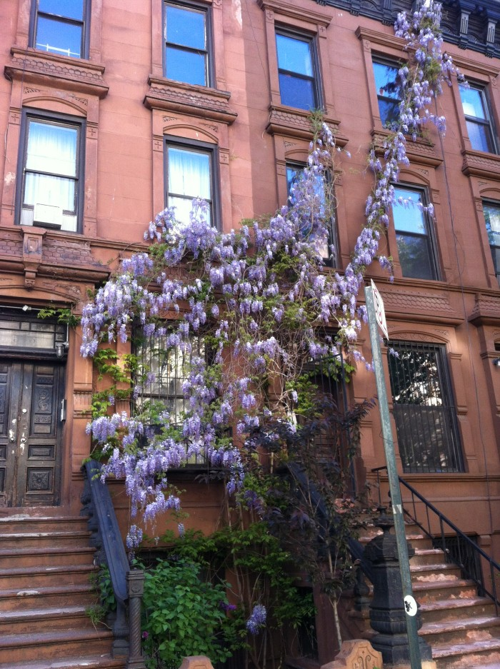 Vegan in Harlem - Wisteria on a brownstone on Manhattan Ave