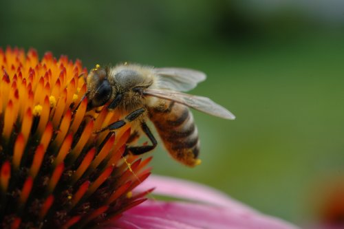 The Decline of Honeybees and 5 Ways to Help