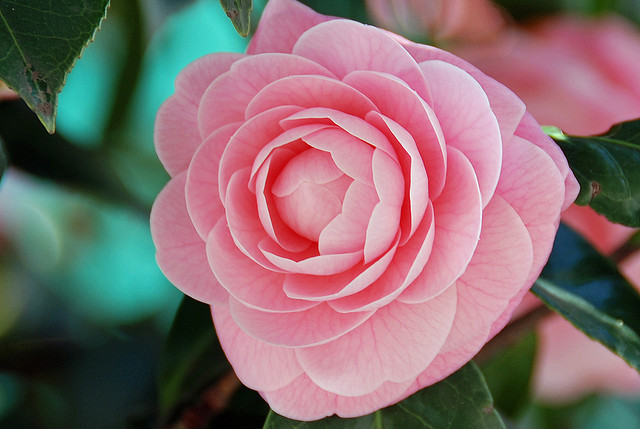 Camellia Oil: Benefits and Uses
