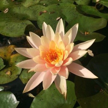 Lotus, blooming
