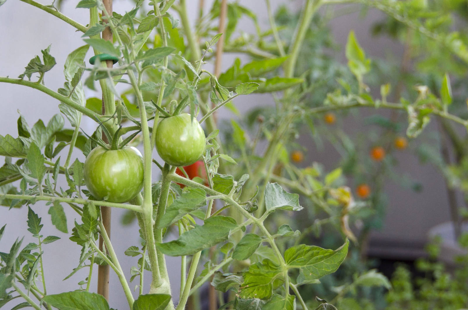 growing-tomatoes