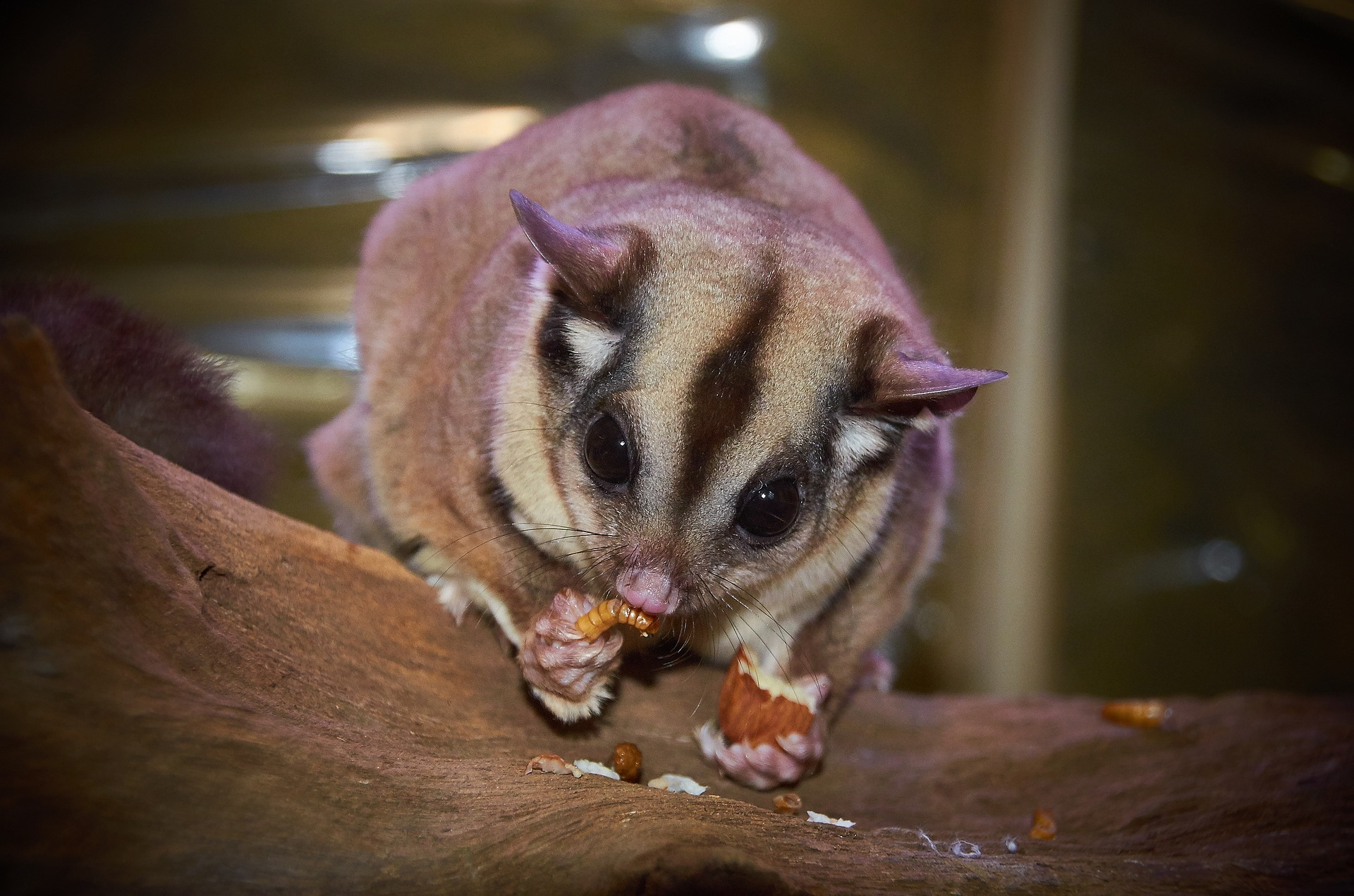 6 Reasons Sugar Gliders Are Not Good Pets