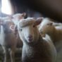 sheep-sustainable-wool