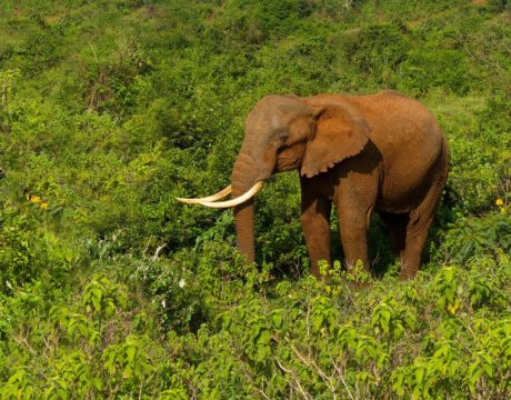 African Forest Elephants Fight Climate Change—But They Need Our Help