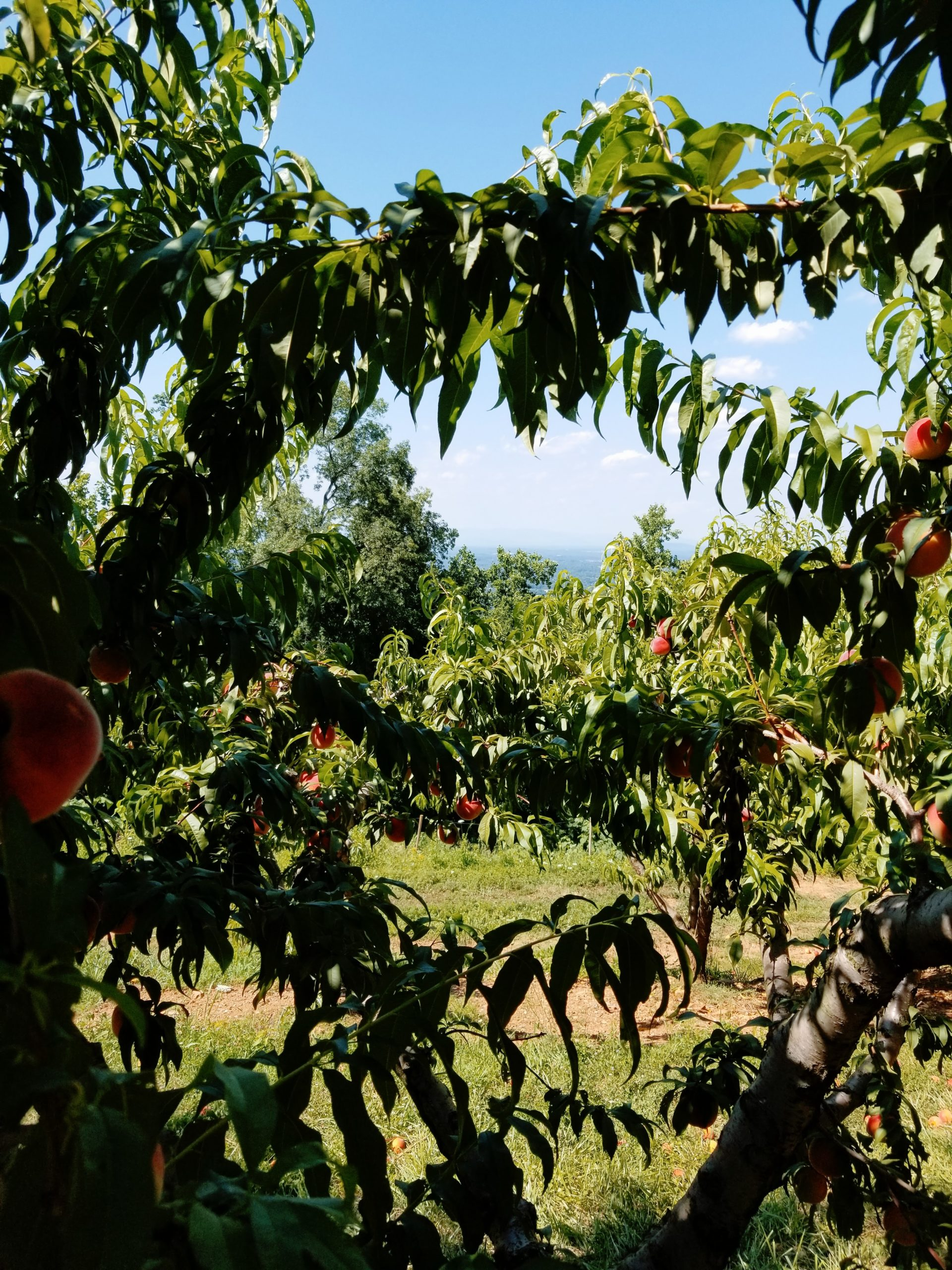 Carter_Mountain_Orchard